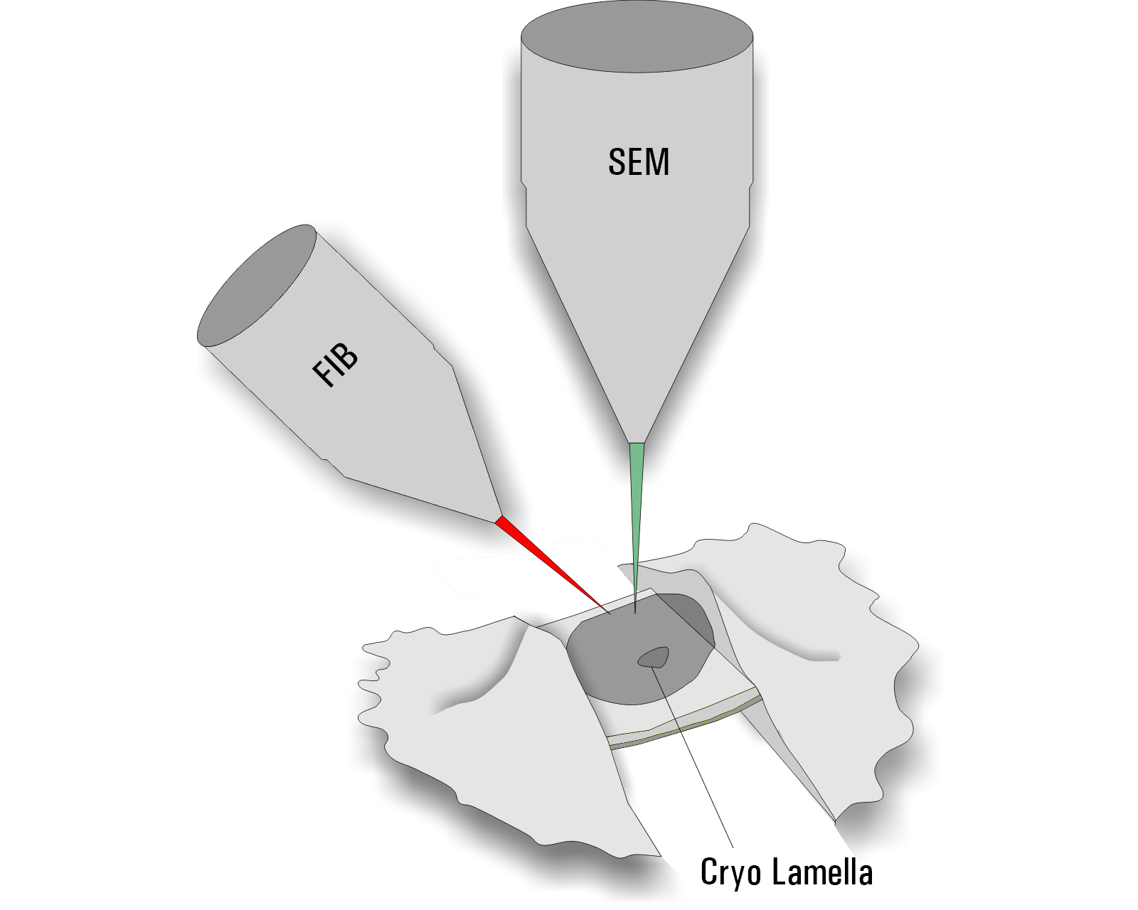 Milling. Diagram of the Thermo Scientific Aquilos DualBeam electron microscope. The vertical scanning electron beam is used for imaging of the sample (SEM) and the focused ion beam (FIB) for milling a thin ice sheet into the cell. The result is a 200-300 nm thin on-grid lamella.