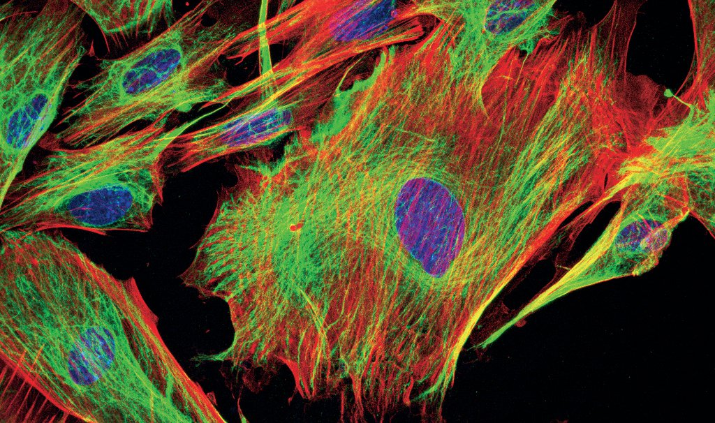 [Translate to chinese:] Mouse fibroblasts-Green: F-Actin, FITC-Red: Tubulin, Cy5-Blue: Nuclei, DAPIC ourtesy of Dr. Günter Giese, Max Planck Institute for Medical Research, Heidelberg, Germany